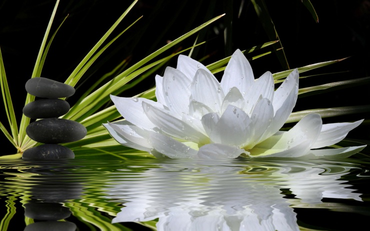 White-lotus-flower-in-water-wallpaper-2